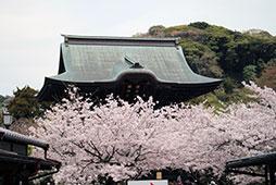 満開の桜に出迎えられて