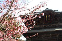 早咲きの桜咲く3月1日、高校卒業式